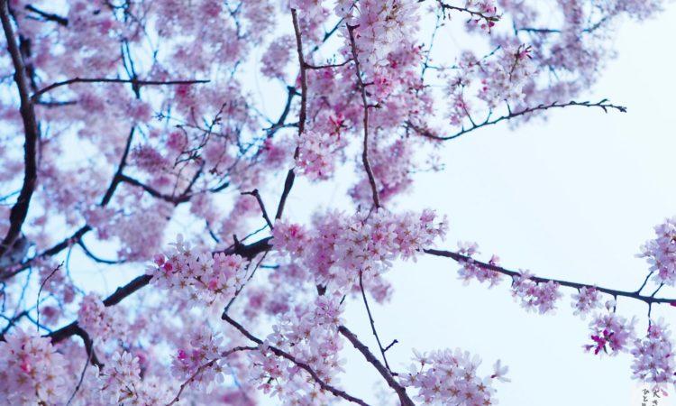 【2018年版】E-M10とiPhone Xで桜を撮りました。